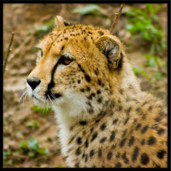 cheetah168 by redbeard31