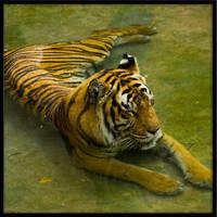 tiger60 by redbeard31