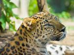 leopard29 by redbeard31