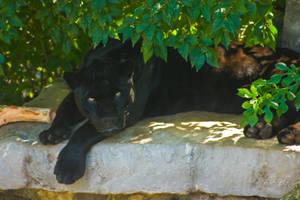black jaguar8 by redbeard31