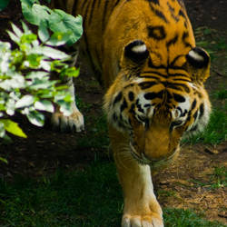 tiger112 by redbeard31