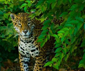 jaguar41 by redbeard31