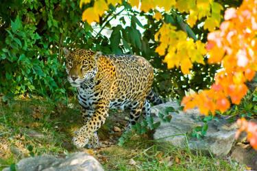 jaguar44 by redbeard31