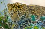 leopard57 by redbeard31