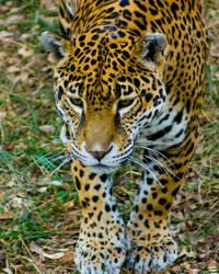 jaguar50 by redbeard31