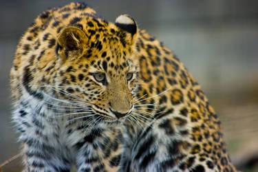 leopard79 by redbeard31