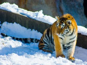 tiger193 by redbeard31