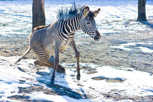 zebra4 by redbeard31