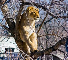 lion54 by redbeard31