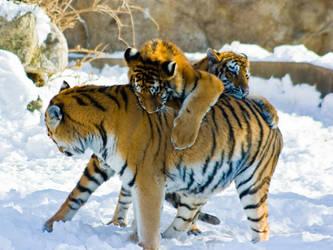tiger194 by redbeard31
