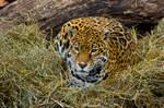 jaguar59 by redbeard31