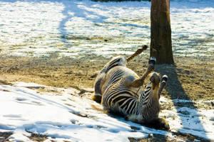 zebra5 by redbeard31