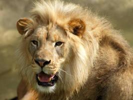 lion154 by redbeard31