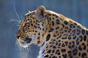 leopard280 by redbeard31