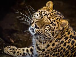 leopard398 by redbeard31