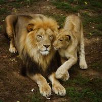 lion387 by redbeard31