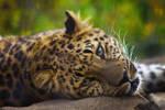 leopard454 by redbeard31
