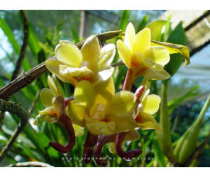 wild orchid by babyphoenix