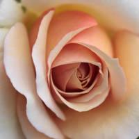 Rose by imladris517