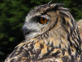 Owl 2 by Ariva16-pet