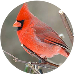 Red Cardinal by AnniverseStash