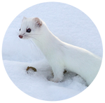 Ermine by AnniverseStash