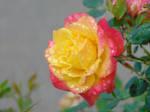 Rose w/ water (1) by xXSpace-CadetXx