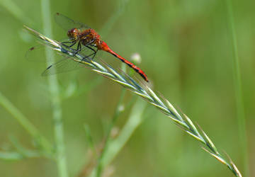 Red Dragonfly by natureandthings