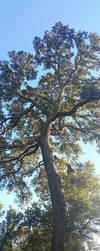 Great Old Live Oak by dragonlady864