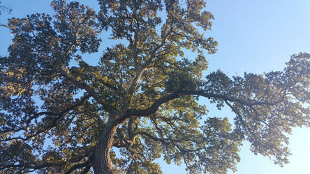 Top of the Live Oak by dragonlady864
