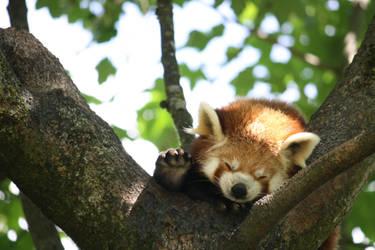 Panda roux by Guilou