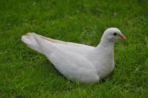 White Pigeon by masimage