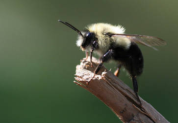 Fuzz Bee by vivadawolf