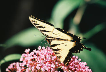 Papilio Glaucas by EarthElement12