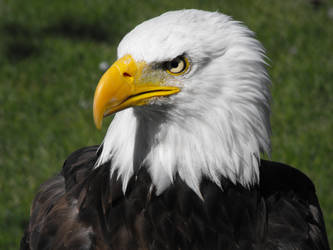 Bald Eagle Head by TommyGK
