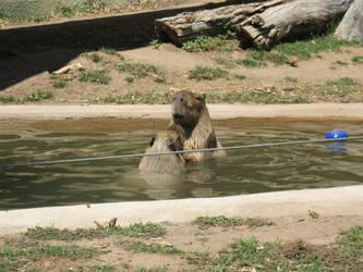 Capybara by TurkFish