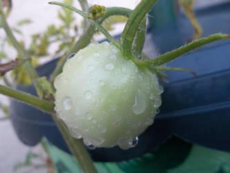 Baby Tomato by TurkFish