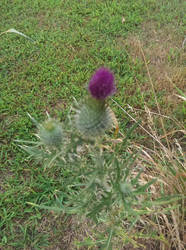 Flower of Scotland by Agriking