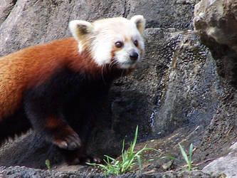 Red Panda: Explore by TheNewSun