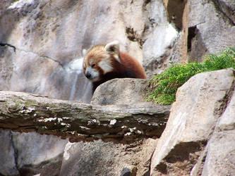 Red Panda: Take it in by TheNewSun