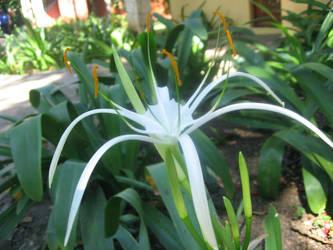 Wispy Lily by gypsyreik