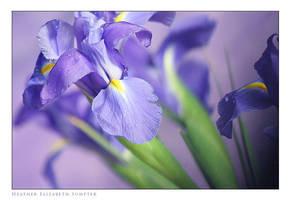 Iris II by epiphany