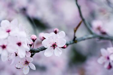 Cherry by jlanis