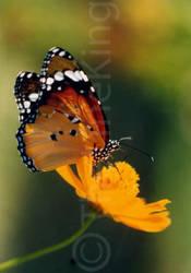 butterfly on flower by thelineking