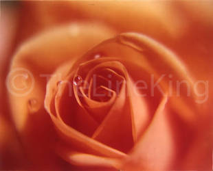 rose up-close by thelineking