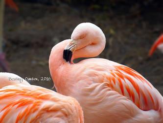 Chilean Flamingo by Destiny-Carter