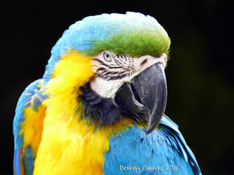 Blue Macaw by Destiny-Carter