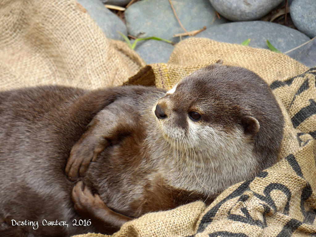Otterly Adorable by Destiny-Carter