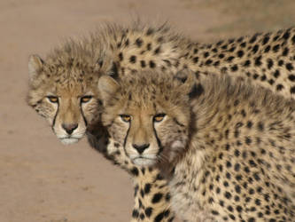 Young Cheetah Brothers by samboardman
