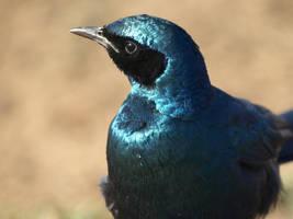 Burchell's Glossy Starling by samboardman